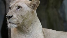 Portret van vrouwelijke leeuw stock footage