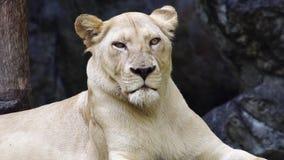 Portret van vrouwelijke leeuw stock videobeelden