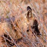 Portret van waakzame waakzame rode vos, soort Vulpes Royalty-vrije Stock Afbeeldingen