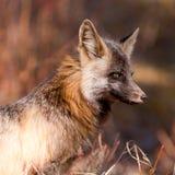 Portret van waakzame waakzame rode vos, soort Vulpes Stock Afbeeldingen
