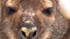 Portret van wallaby het kauwen Nadruk op de neus stock footage