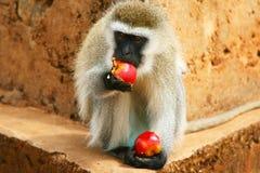 Portret van wilde hongerige aap Royalty-vrije Stock Afbeelding