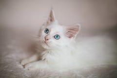 Portret van wit katje Maine Coon Royalty-vrije Stock Fotografie