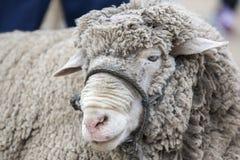 Portret van wit lam bij de Dierlijke Markt van Otavalo, Ecuador Stock Fotografie