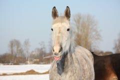 Portret van wit paard die zijn lip likken Stock Fotografie