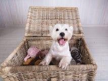 Portret van Wit Terrier die uit rieten mand gluren Stock Foto