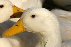 Portret van witte ganzen.   Stock Afbeeldingen
