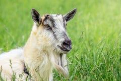 Portret van witte geit tegen groene grasachtergrond binnenlands royalty-vrije stock afbeelding