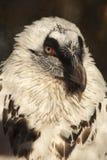 Portret van witte gier Royalty-vrije Stock Afbeeldingen