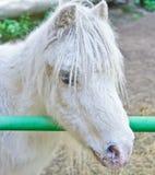 Portret van witte poney Stock Fotografie