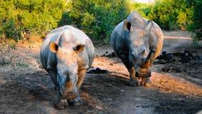 Portret van witte rinocerossen in de Mkhaya-Spelreserve, Siphofaneni, Eswatini vroeger Swasiland stock afbeeldingen