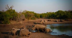 Portret van witte rinocerossen in de Mkhaya-Spelreserve, Siphofaneni, Eswatini vroeger Swasiland stock afbeelding