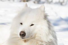 Portret van witte Samoyed in de winter Stock Afbeeldingen