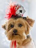 Portret van Yorkie die haar gelukkige hoed dragen Stock Foto