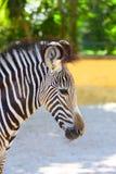 Portret van zebra Royalty-vrije Stock Afbeelding