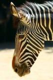 Portret van zebra Royalty-vrije Stock Afbeeldingen