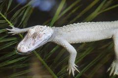 Portret van zeer Jong Albino Alligator stock fotografie