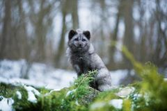 Portret van Zitting Grey Coated Polar Fox stock afbeelding