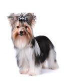Portret van zwart-witte hond dat op wit wordt geïsoleerds Stock Afbeeldingen
