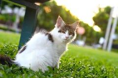 Portret van zwart-witte kat die en op een houten stoel in groene tuin benieuwd zijn zitten Reuzekatjeszitting in tuin Royalty-vrije Stock Afbeelding