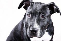 Portret van zwarte hond Royalty-vrije Stock Fotografie