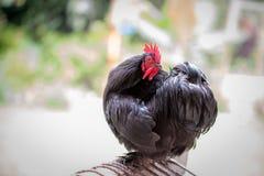 Portret van zwarte Orpington-kip in tuin royalty-vrije stock afbeelding