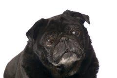 Portret van zwarte pug Stock Afbeelding