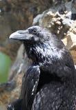 Portret van zwarte raaf Stock Afbeelding