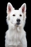 Portret van Zwitserse witte herder Stock Afbeelding