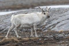 Portret von Svalbard-Ren im Sommer lizenzfreies stockbild