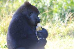 Portret vrouwelijke gorilla en popcorn stock afbeeldingen