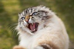 Portret wściekły Syjamski kot, zwierzę domowe atakował mężczyzna bronić obraz royalty free