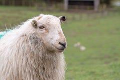 Portret Walijski halny cakiel Zdjęcie Royalty Free