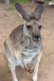 Portret wallaby fotografia stock