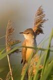 portret warbler zdjęcie stock