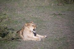 Portret warczy w Serengeti lew, Serengeti Zdjęcia Stock