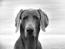 portret weimaraner Fotografia Stock