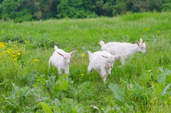 A portret of white goat kids in the meadow. A portret of white goat kids walking in the meadow Stock Images