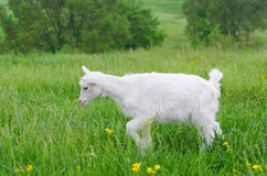 A portret of white goat kids in the meadow Stock Images