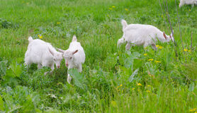 A portret of white goat kids in the meadow. A portret of white goat kids walking in the meadow Stock Image
