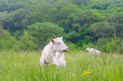 A portret of white goat. In the meadow Royalty Free Stock Photography