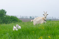 A portret of white goat. In the meadow Stock Photography