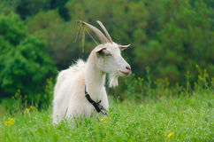 A portret of white goat in the meadow Stock Images