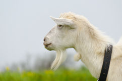 A portret of white goat in the meadow. A portret of white goat walking in the meadow Royalty Free Stock Photos