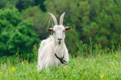 A portret of white goat in the meadow. A portret of white goat walking in the meadow royalty free stock photo