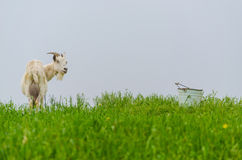 A portret of white goat in the meadow. A portret of white goat walking in the meadow Royalty Free Stock Images