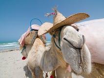 portret wielbłądów Obrazy Royalty Free