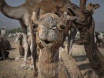 Portret wielbłąd głowa w Pushkar fotografia stock