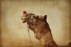 Portret wielbłąd głowa w Pushkar zdjęcie royalty free