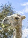 Portret wielbłądzi łasowanie (miły Camelius) Zdjęcia Royalty Free